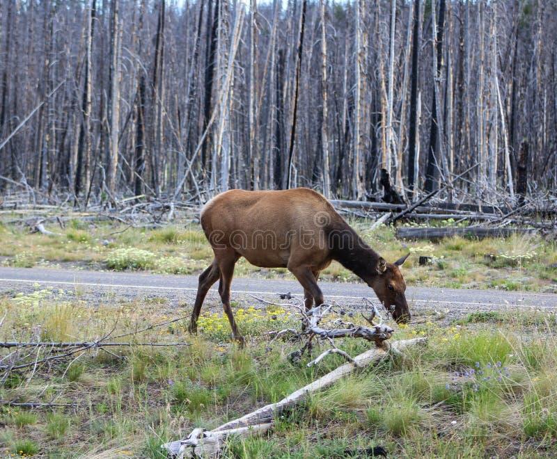 национальный парк yellowstone лося стоковое изображение
