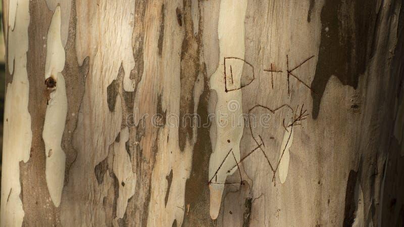 Начальные любовники написанные в стволе дерева, хоботе евкалипта стоковое фото