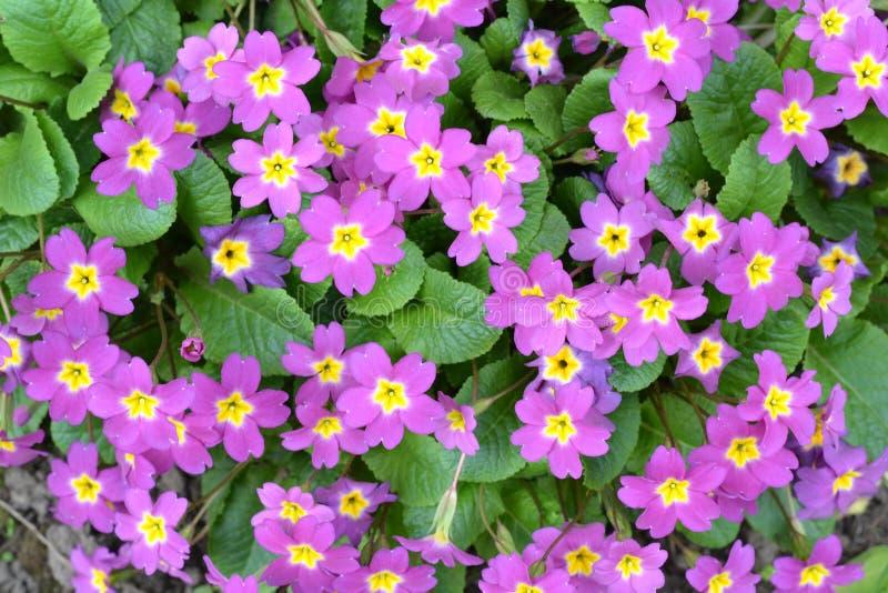 начинает весна primula dof отмелая vulgaris стоковые фотографии rf