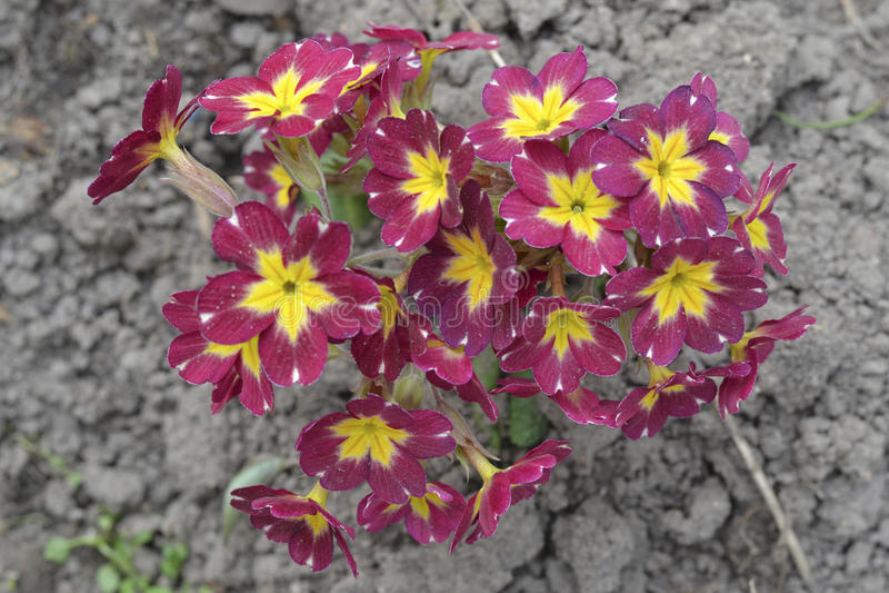 начинает весна primula dof отмелая vulgaris стоковая фотография rf