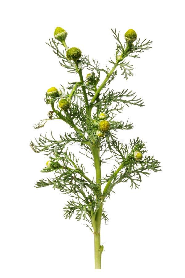 Начинать цвести дикий стоцвет используемый для медицинских целей изолированная ветвь стоковая фотография