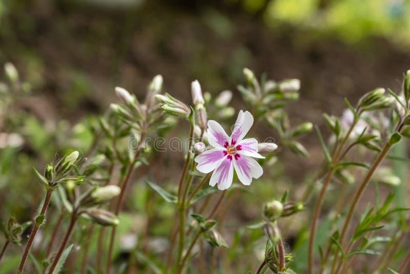Нашивка конфеты subulata им-флокса конфеты флокса проползать Нашивк-латинская красивый цветок весны стоковая фотография