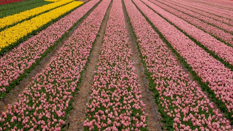 Нашивки цвета: красочные тюльпаны растя в строках в поле цветка около Lisse, Нидерланд стоковое фото rf