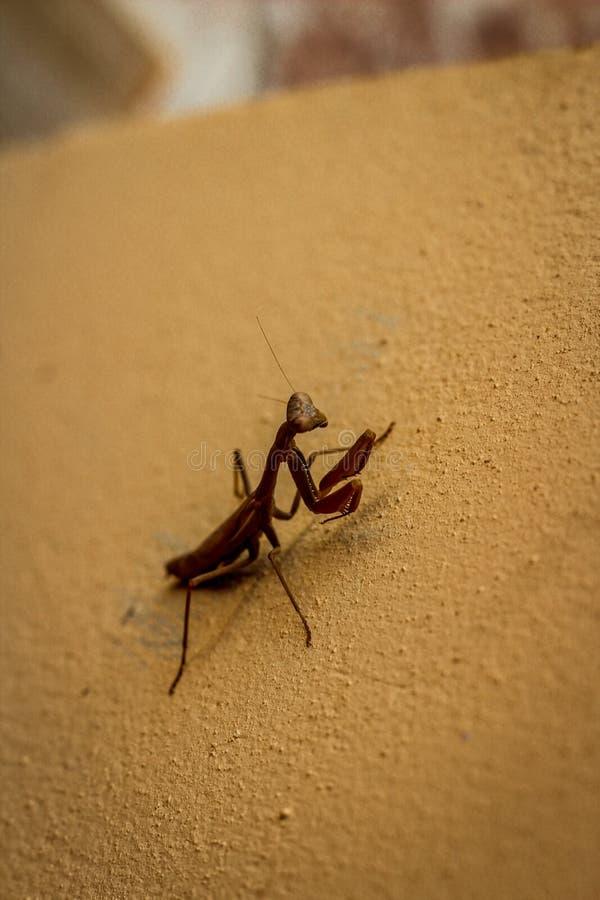 Нашл, что этот Mantis добычи наблюдал пока в задней части стоковая фотография