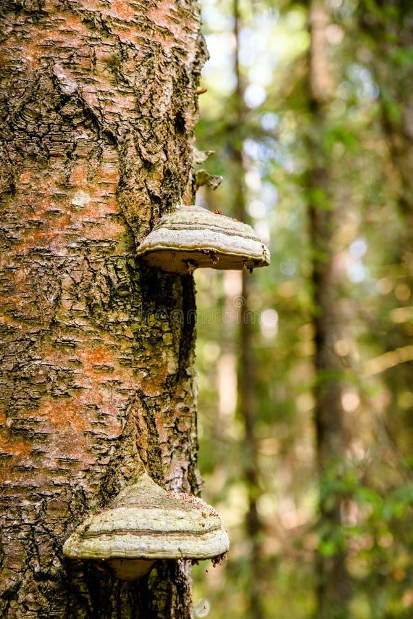 На багажнике растет гриб чага стоковое фото rf