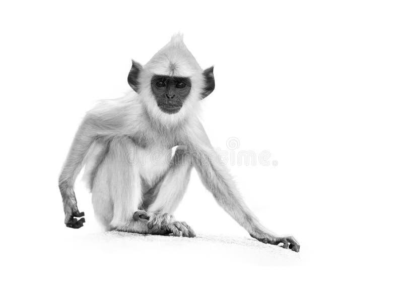 на белизне, серый цвет младенца Langur художнического черно-белого фото серый стоковые фото