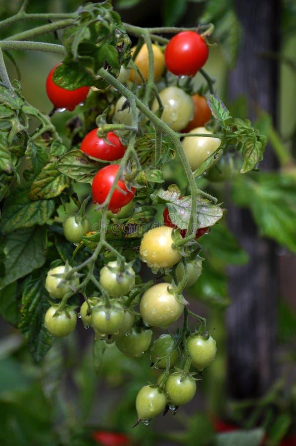 На ветвях кустов созрейте томаты вишни стоковые изображения