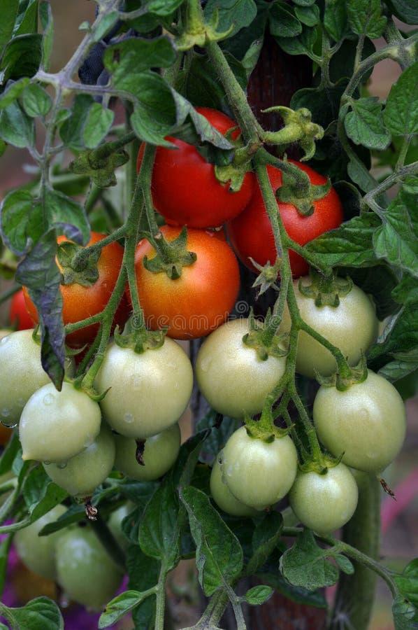 На ветвях кустов созрейте томаты вишни стоковые фотографии rf