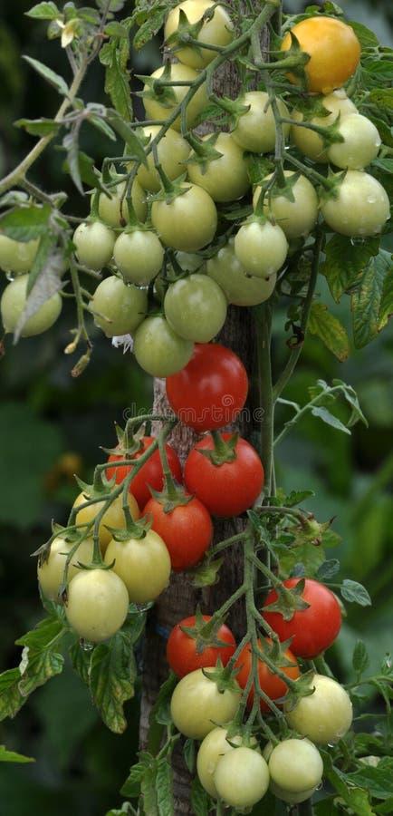 На ветвях кустов созрейте томаты вишни стоковые фото