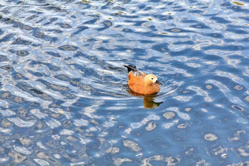 На голубых волнах заплывов утки реки красивых стоковая фотография rf