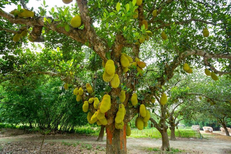 На дереве висят большие джекфруты Джекфрут - национальный плод Бангладеш Это сезонные летние фрукты стоковая фотография