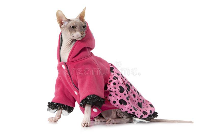 Наденьте кота сфинкса одетого с курткой перед белой предпосылкой стоковая фотография rf