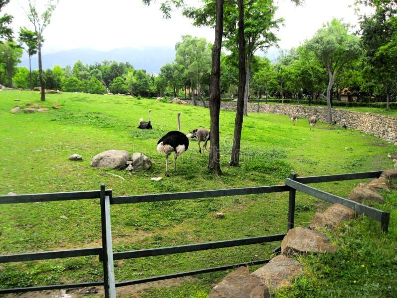 На женщинах и мужчинах страусов изображений стоковое изображение rf