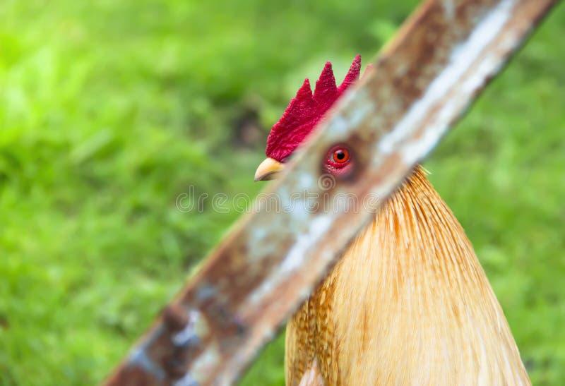 На запрещенных глазах зеленого будильника rinse вороны клекота гребня клюва намордника профиля крана redhead предпосылки красного стоковые фото