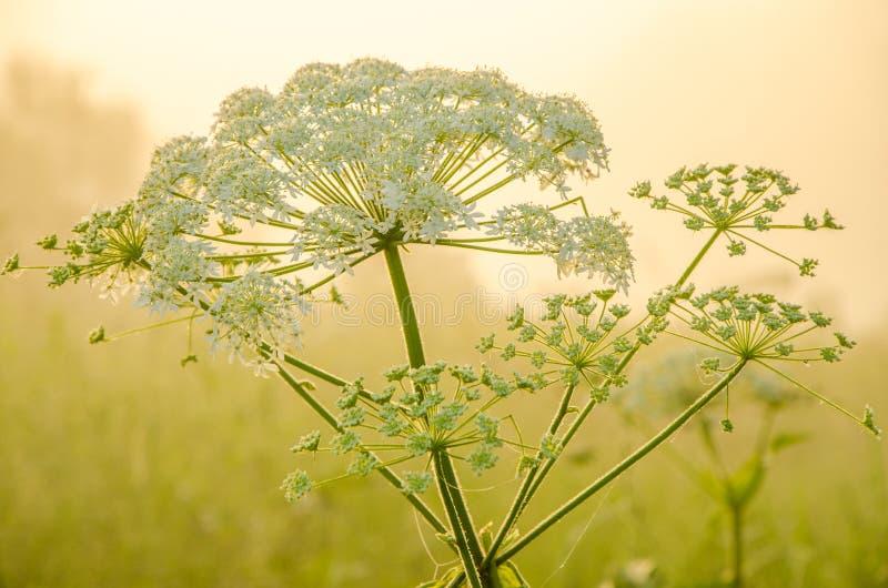 На зеленой лужайке в предыдущем туманном утре стоковые фото
