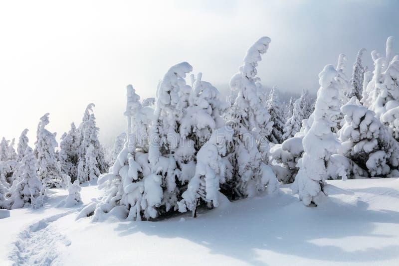 На морозный красивый день среди высоких гор и пиков волшебные деревья покрытые с белым пушистым снегом стоковое фото rf