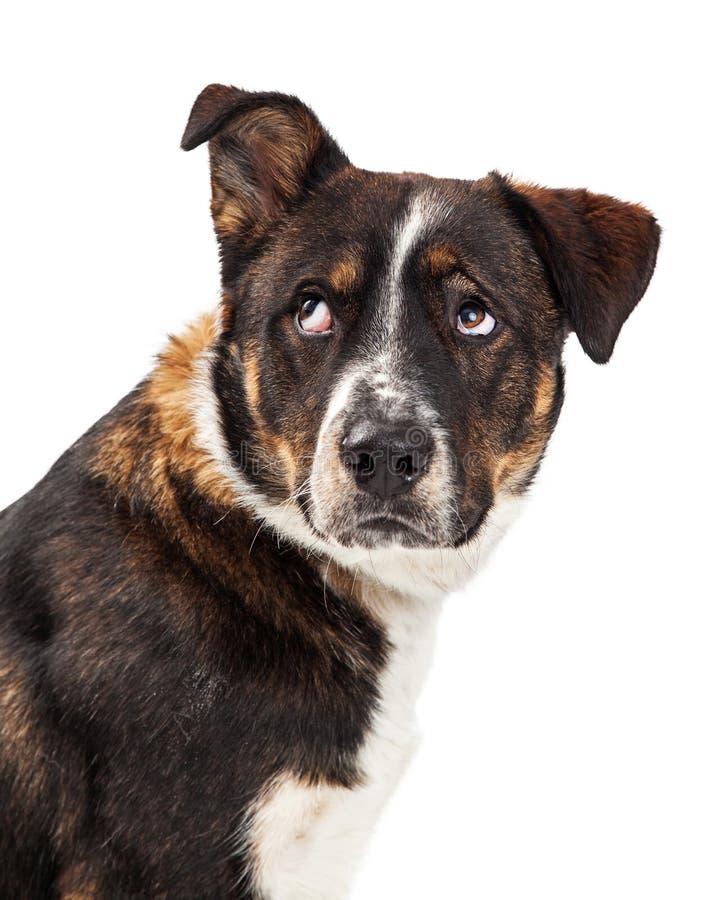 Надоеданная большая завальцовка собаки наблюдает вверх стоковые фото