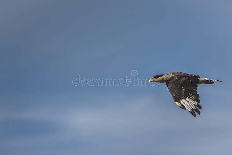 над океаном летания птицы темным раскройте крыла чайки стоковая фотография rf