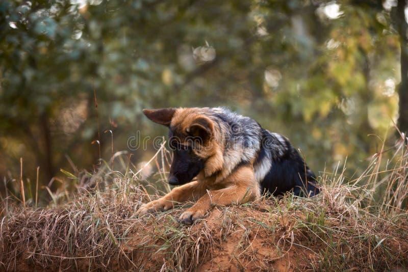 На открытом воздухе портрет молодой собаки немецкой овчарки стоковая фотография