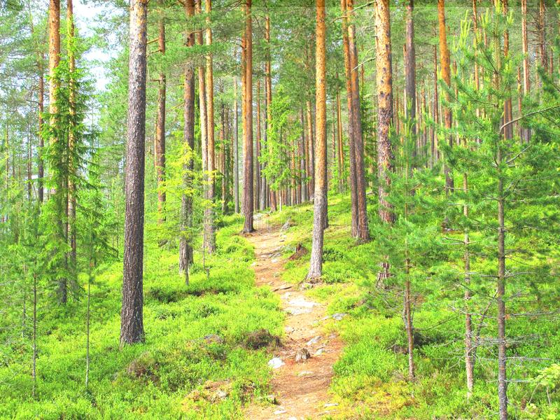 На пути в сосновый лес по пути домой на другой конец стоковая фотография
