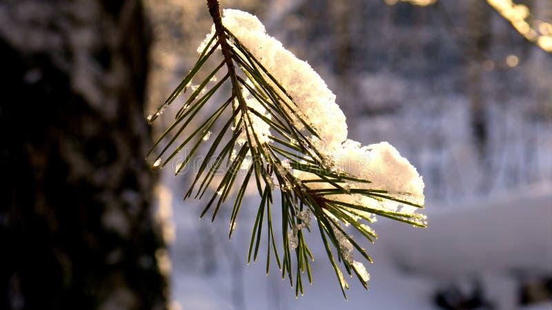на сосне ветвь лежит крышка снега стоковые фото