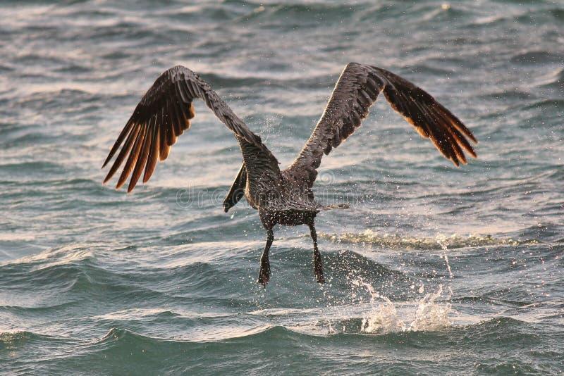 Налёт пеликана на воде стоковая фотография