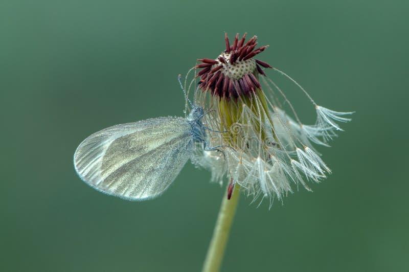 Небольшая бабочка сушит свои крылья рано утром в расчистке в росе на ц стоковая фотография