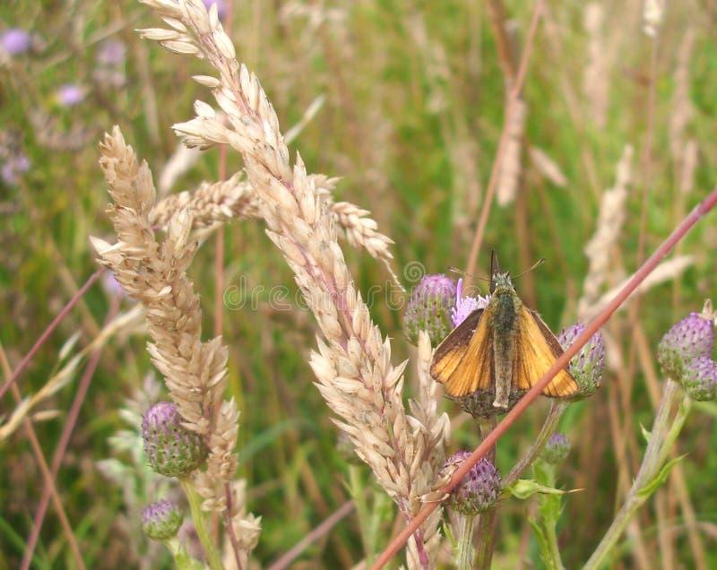 Небольшая бабочка шкипера, на цветке thistle стоковое фото rf