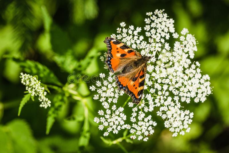 Небольшая бабочка tortoiseshell на белом цветке стоковое изображение rf