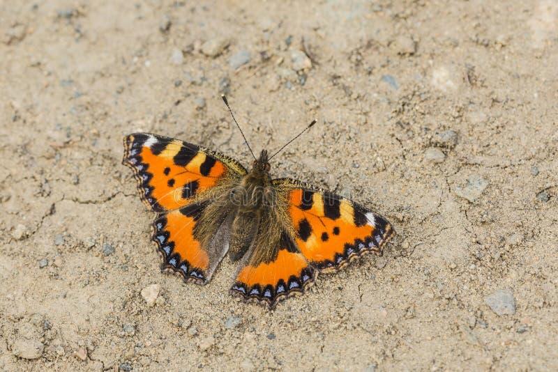Небольшая бабочка tortoiseshell на суше стоковая фотография