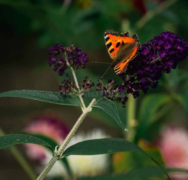 Небольшая бабочка tortoiseshell собирая цветень от пурпурных цветений buddleja стоковые изображения