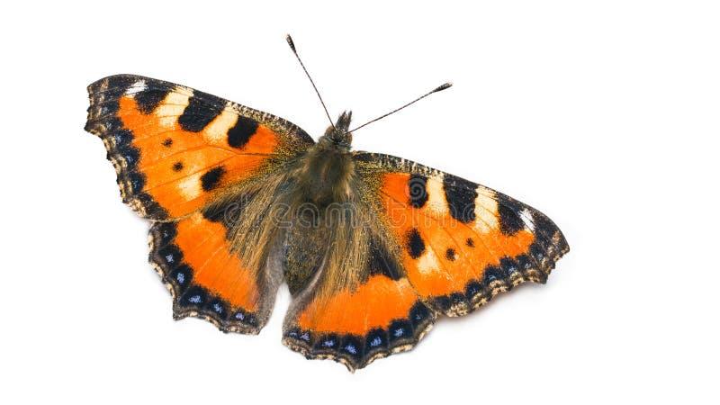 Небольшая бабочка tortoiseshell Urticae Aglais Чешуекрылые r стоковое изображение rf