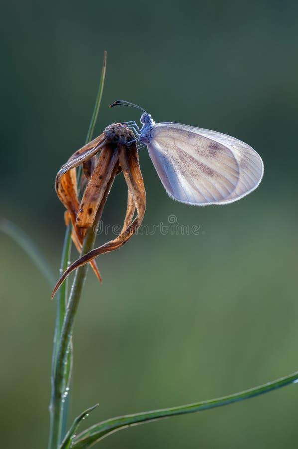 небольшая белая бабочка сушит свои крылья рано утром стоковые фото