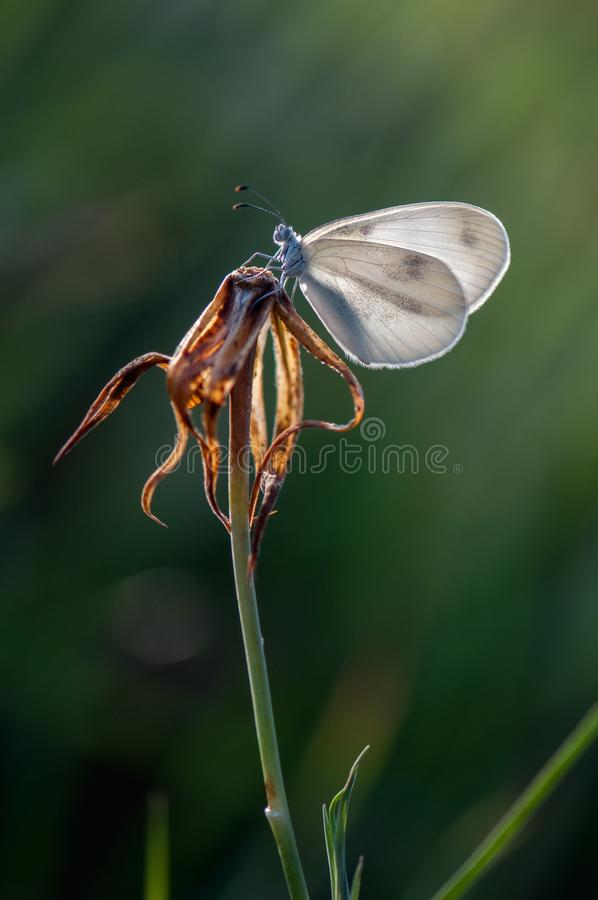 небольшая белая бабочка сушит свои крылья рано утром стоковое фото