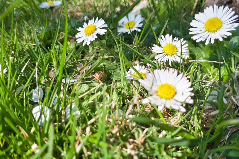 Небольшая группа в составе маргаритки в траве стоковые фото