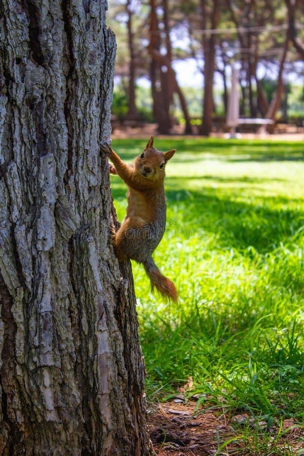 Небольшая красная белка на стволе дерева против зеленой травы r стоковые фотографии rf