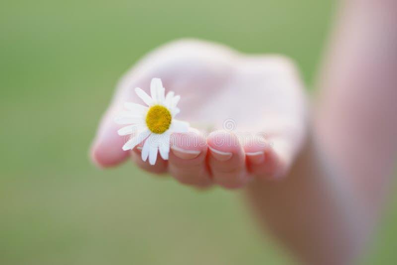 Небольшая нежная маргаритка в руке женщины стоковая фотография rf