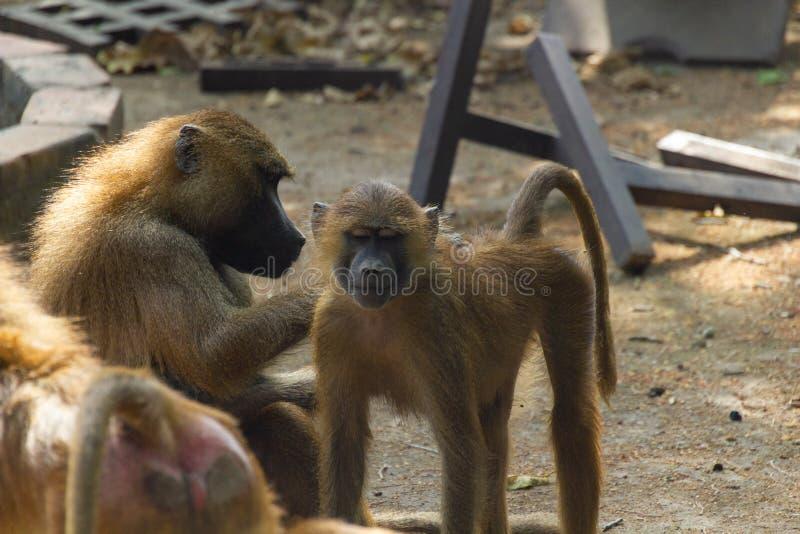 Небольшая обезьяна получает блоху скомплектованный стоковые фото