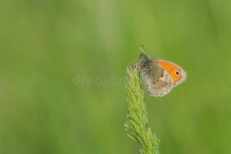Небольшая оранжевая бабочка на траве стоковые изображения rf