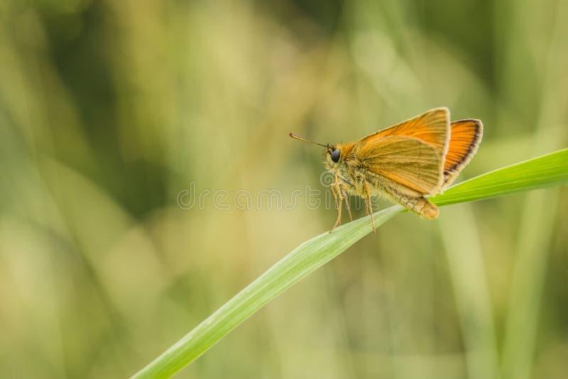 Небольшая оранжевая бабочка на траве стоковое фото rf
