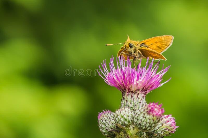 Небольшая оранжевая бабочка на thistle стоковая фотография