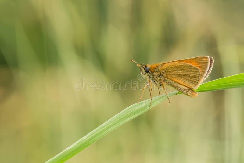 Небольшая оранжевая бабочка сидя на траве стоковое фото