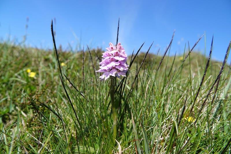 Небольшая орхидея поля в грубом выгоне стоковые изображения