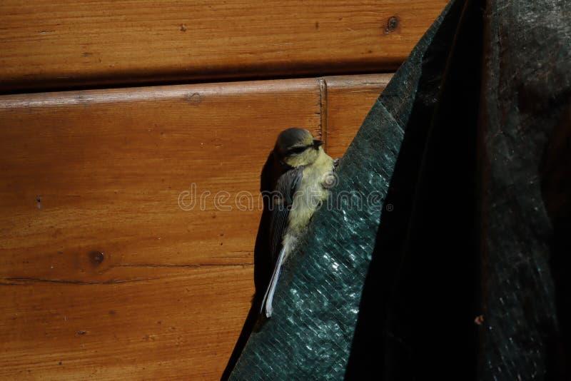 Небольшая птица на предпосылке деревянной стены цыпленок зяблика Общий женский зяблик питаясь от земли зяблик chaffinch стоковые фото