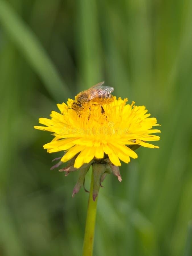 Небольшая пчела опыляет желтый цветок стоковые изображения