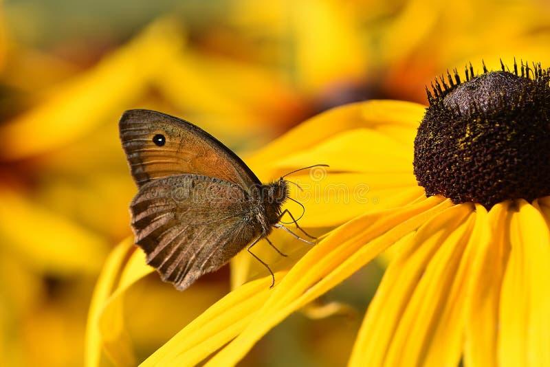 Небольшая скромная коричневая бабочка шоколада стоковое изображение rf
