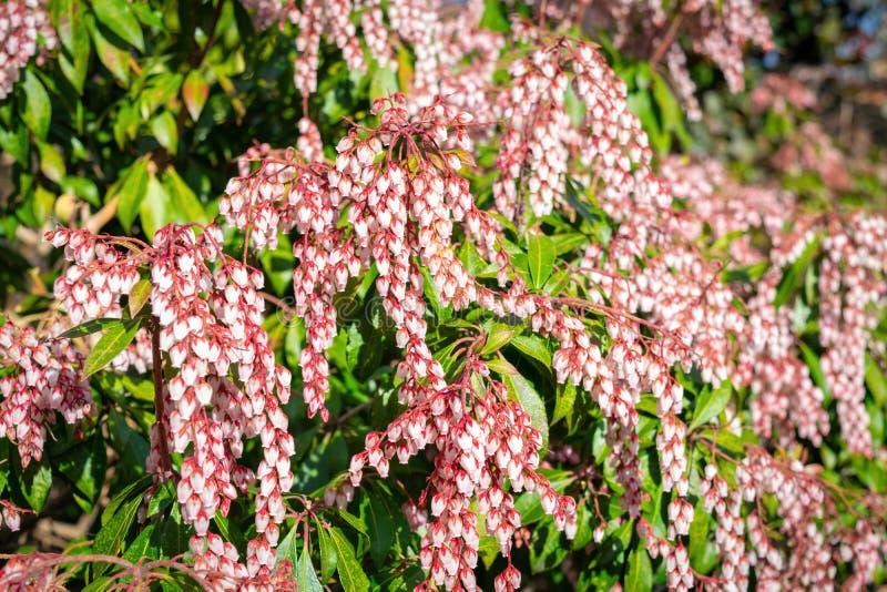 Небольшие белые луковичные цветки весны на красных стержнях, среди суккулентных зеленых листьев куста стоковое изображение