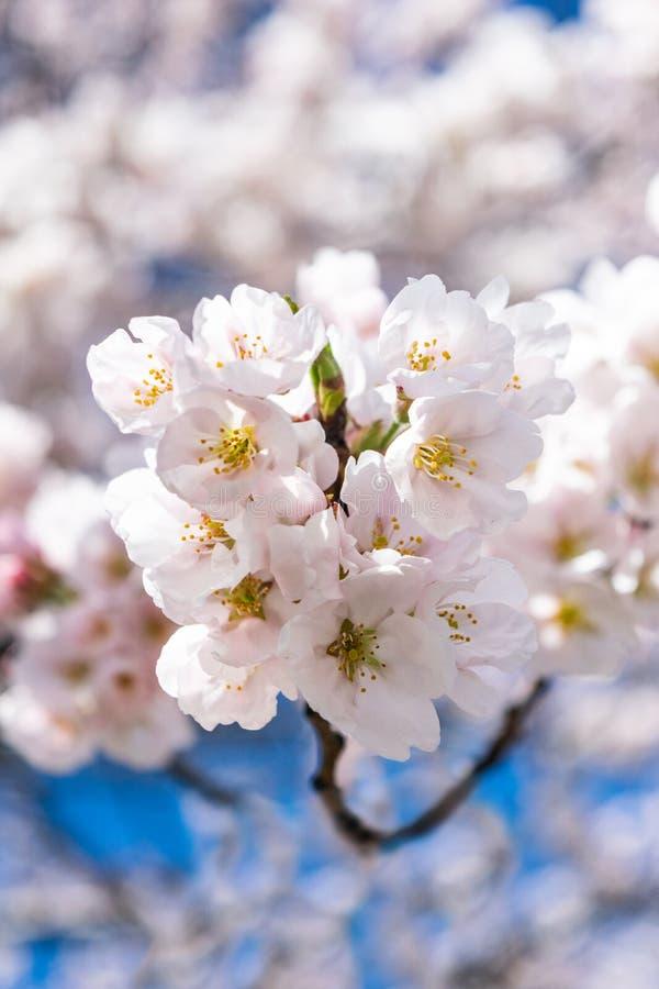 Небольшие белые цветки весны зацветают на теплый и нежный весенний день, против красивого голубого неба стоковая фотография rf