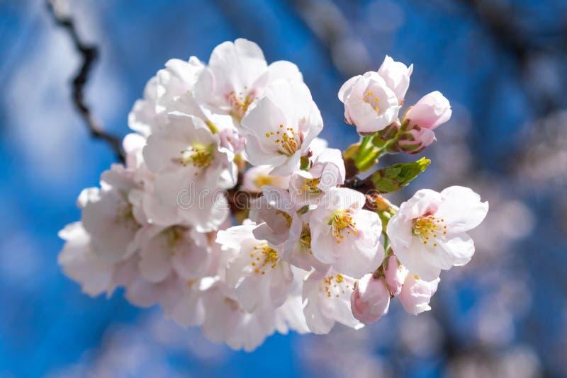 Небольшие белые цветки весны зацветают на теплый и нежный весенний день, против красивого голубого неба стоковое фото rf