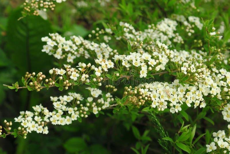 Небольшие, белые цветки в великолепных группах вдоль густолиственных ветвей кустарника Spirea стоковая фотография rf